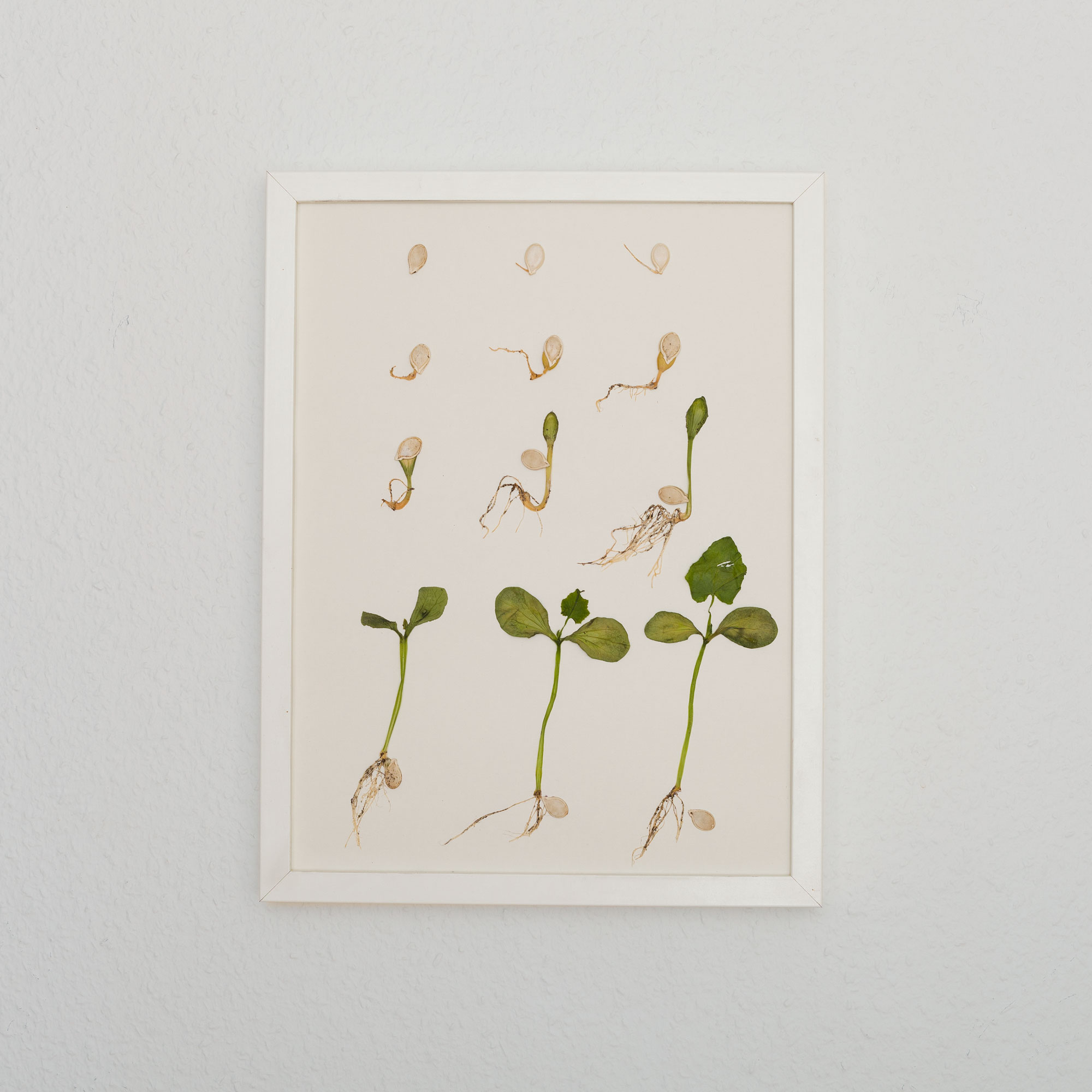 Baby steps, 2019. Sprouted and dried pumpkin seeds on paper.